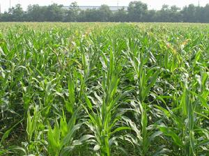 红四方玉米控失肥苗期生长不旺肥