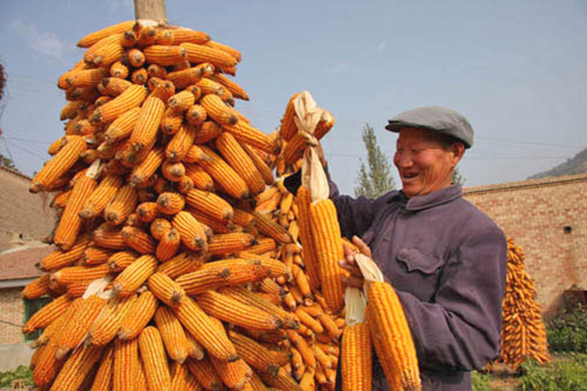 红四方玉米控失复合肥提高玉米产量,提升玉米品质