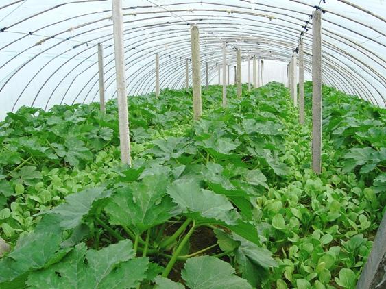 大棚蔬菜种植面积不断扩大,菜农在施肥技术不断提高,想保持大棚蔬菜