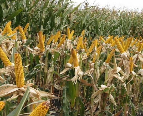 玉米专肥害及预防