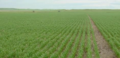 冬小麦用什么肥