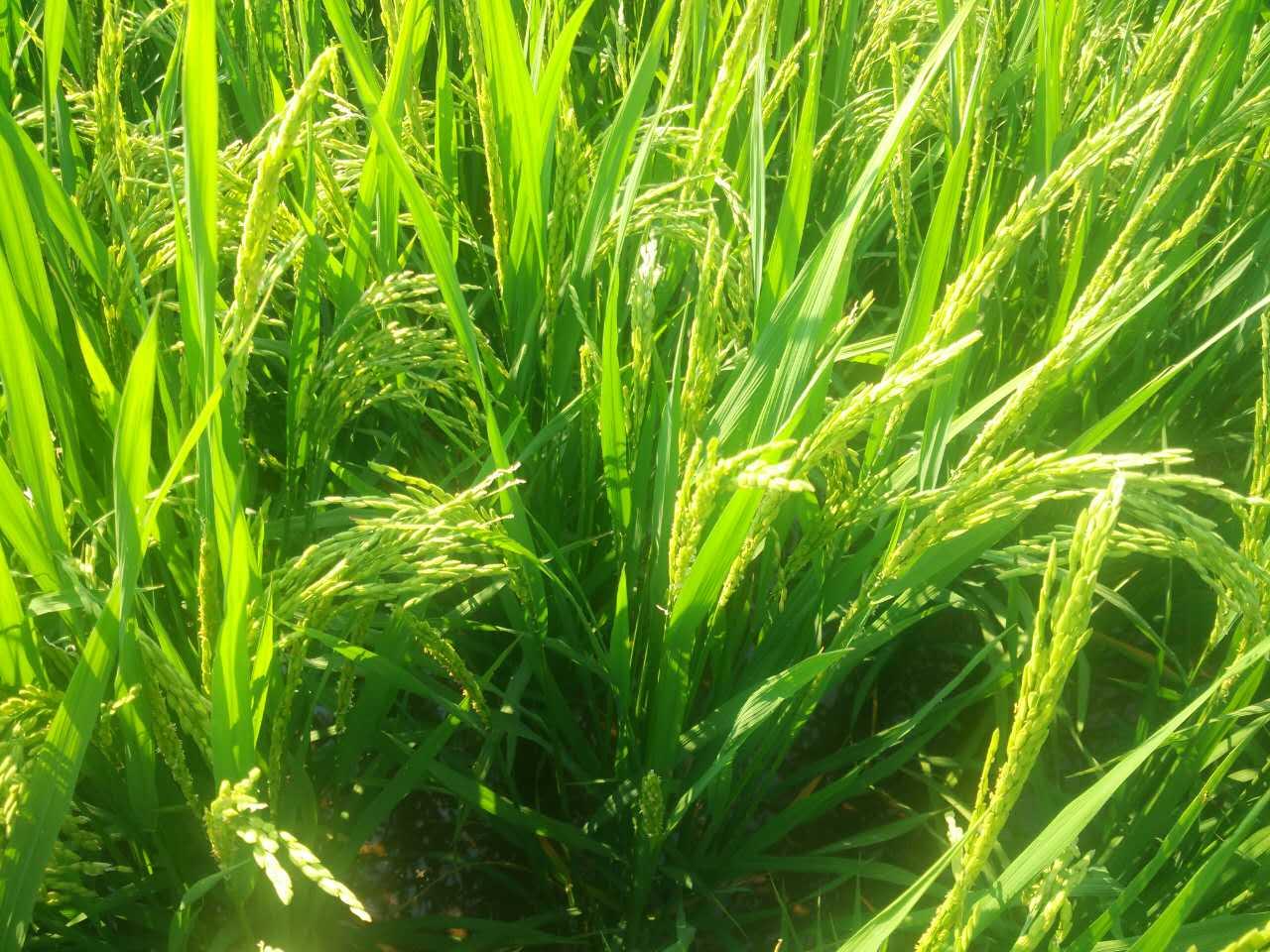 绿小麦简笔画图片大全