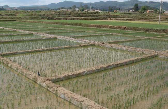湖北水稻好吃又高产