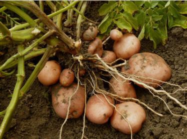 在河北用了红色劲典硫酸钾土豆专用复合肥料让我将小土豆做成大产业